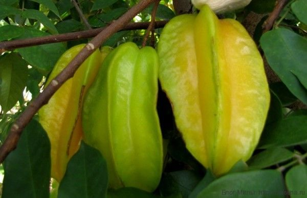 Карамбола, стар-фрукт