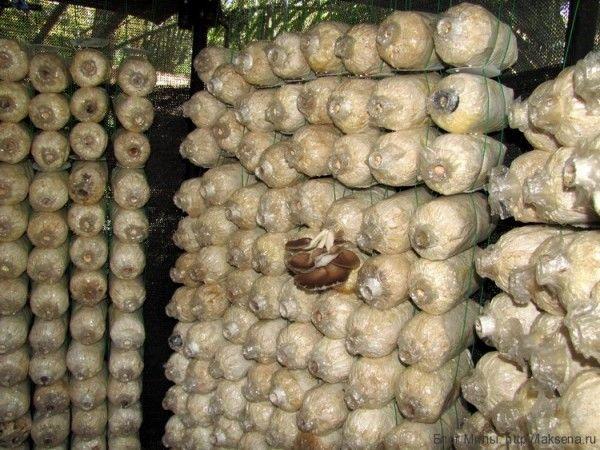 Дрожалка фукусовидная - ледяной гриб- описание (Tremella fuciformis)