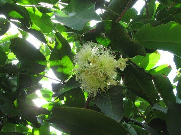 Тайские фрукты. Розовое яблоко цвете