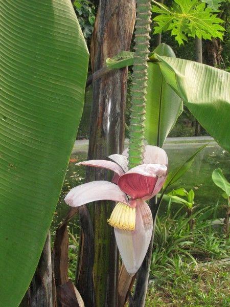 тайский банан цветок банана