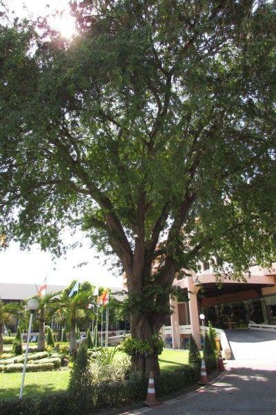 тайские фрукты тамаринд тамариндовое дерево
