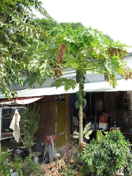 растение папайи