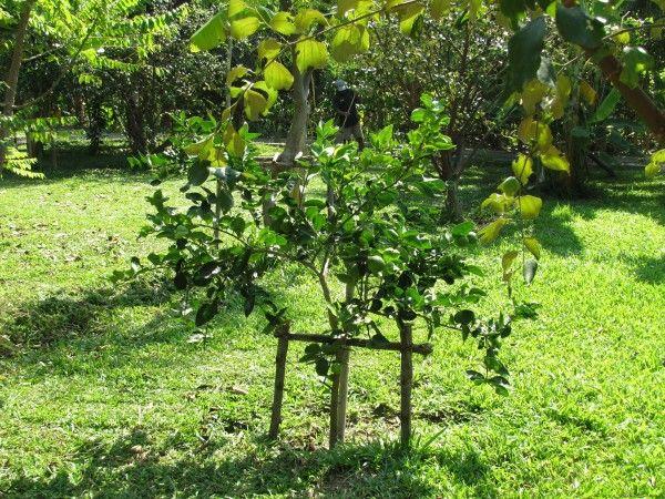 дерево лайма