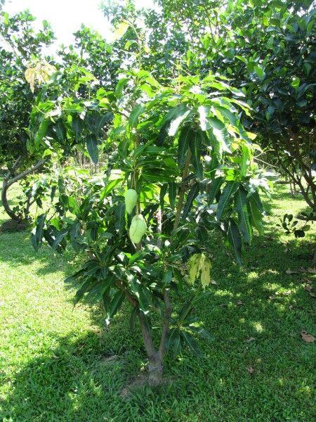 дерево манго в таиланде