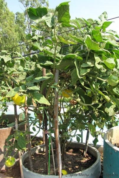тайский баклажан Приправы и овощи тайской кухни (фото)