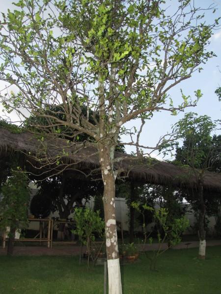 Дерево кафрского лайма
