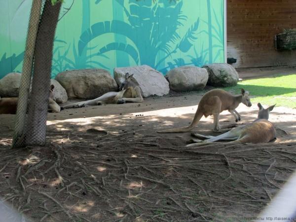 кенгуру зоопарк барселоны
