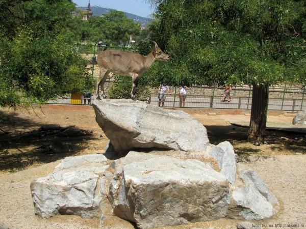 горный козел зоопарк барселоны