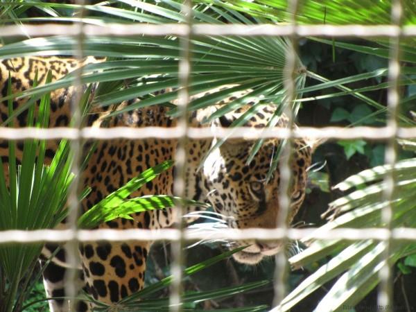 леопард зоопарк барселоны