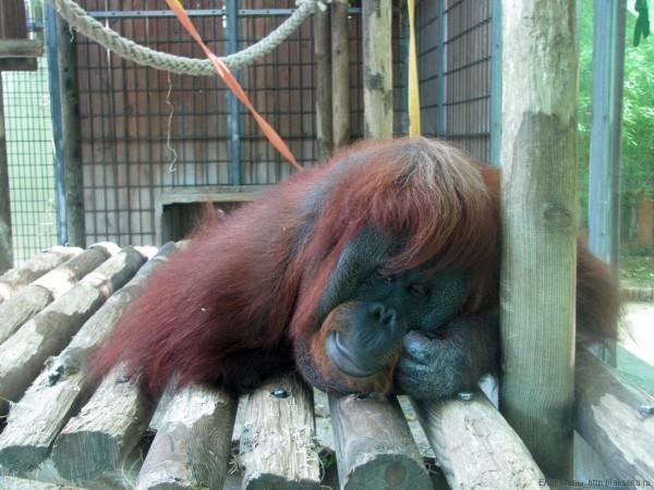 орангутан зоопарк барселоны