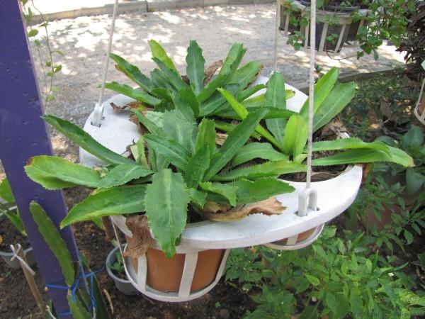 тайские травы в тайской кухне эрингиум пахучий