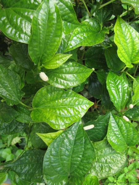 Листья бетеля, Лолот, или Перец-лолот (piper sarmentosum, wild betel leaf, bai cha-phloo) тайские травы в тайской кухне