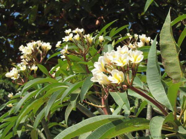 плюмерия в таиланде лилавади франжипани тюльпановидная плюмерия