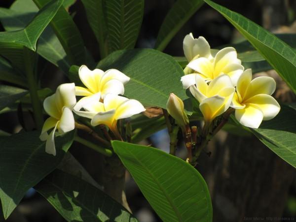 плюмерия в таиланде плюмерия франжипани лилавади