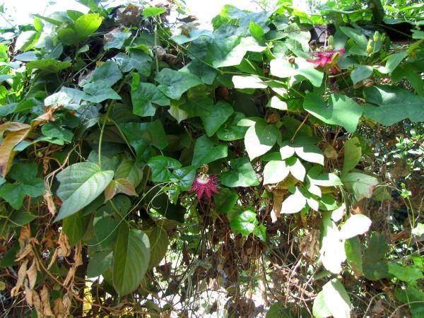 маракуйя в таиланде как растет маракуйя