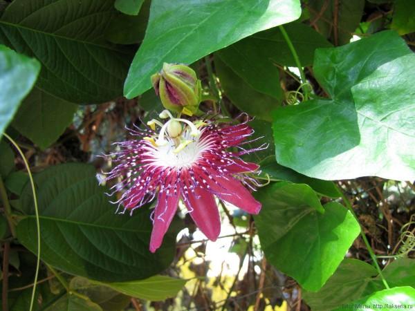 тайская маракуйя цветок