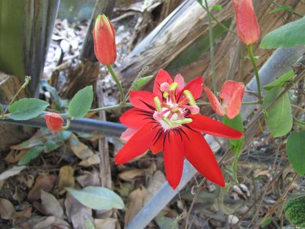 маракуйя в таиланде цветок маракуйи