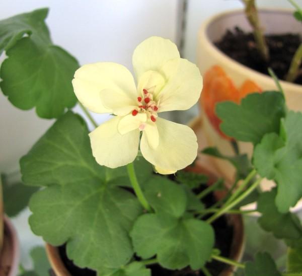 мои герани фото зональная пеларгония pac first yellow