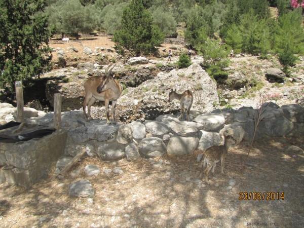 экскурсия в самарийское ущелье кри-кри критская горная коза