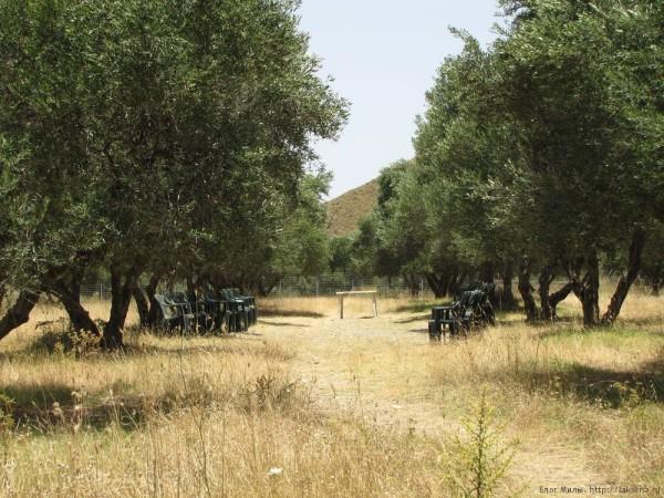 оливковые сувениры с крита оливковая роща