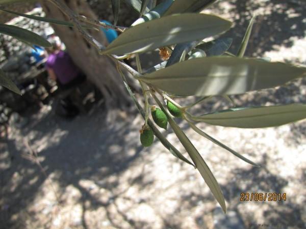 оливковые сувениры с крита не созревшая оливка
