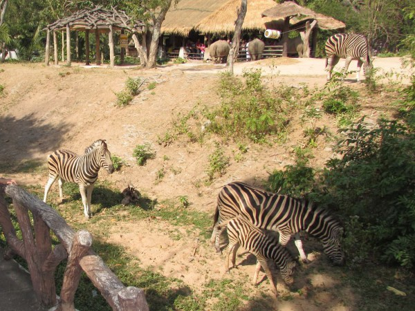 Зоопарк Кхао Кхео зебры