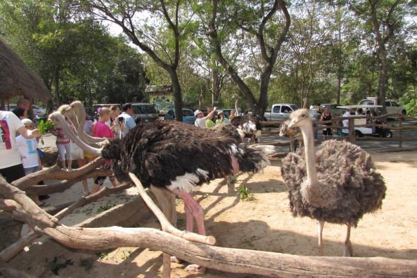 Зоопарк Кхао Кхео страусы