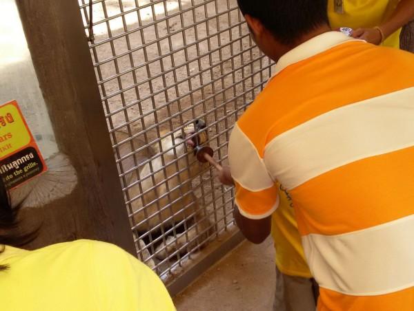 Зоопарк Кхао Кхео кормление тигров