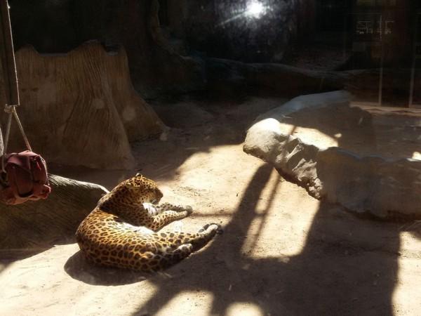 Зоопарк Кхао Кхео леопард