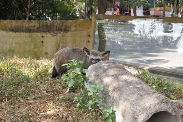 Зоопарк Кхао Кхео фенек