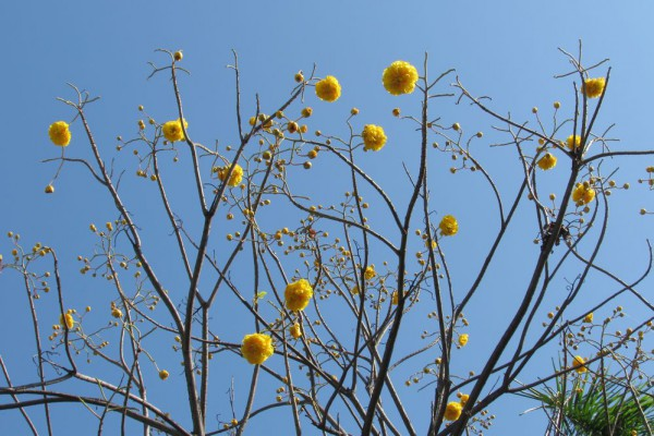 цветы таиланда Кохлоспермум королевский