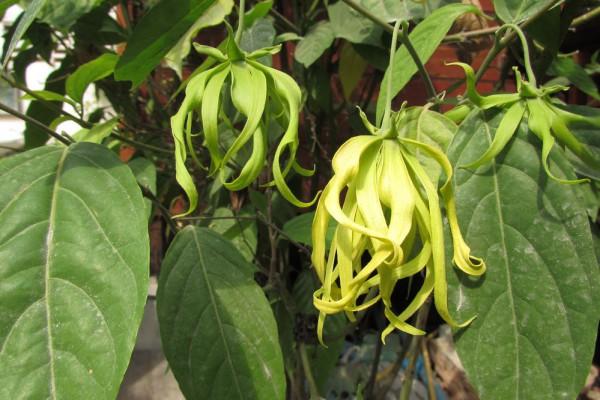 цветы таиланда Cananga odorata, или Иланг-Иланг