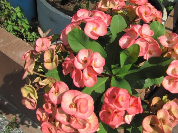 цветы таиланда Молочай Миля, Euphorbia milii