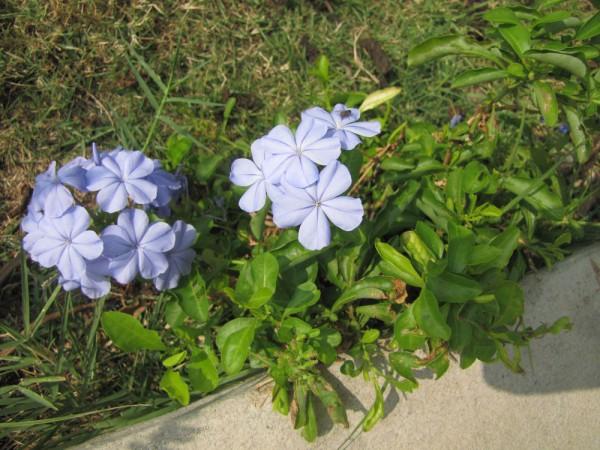 цветы таиланда Свинчатка или Плюмбаго ушковидное/ Plumbago auriculata