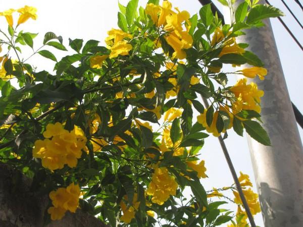 цветы таиланда Текома прямостоячая (Tecoma stans)