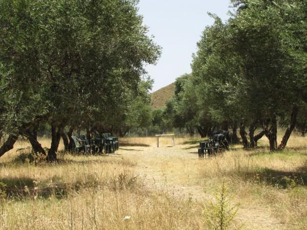 оливковая роща крит