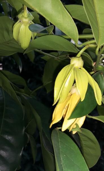 цветы таиланда Artabotrys siamensis - вьющийся Иланг-Иланг