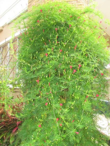 """цветы таилада Квамоклит перистый, """"кипарисная лиана"""" — Ipomoea quamoclit"""