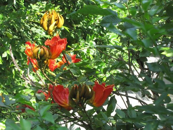 цветы таиланда Спатодея: африканское тюльпанное дерево Спатодея колокольчатая (Spathodea Сompanulata)