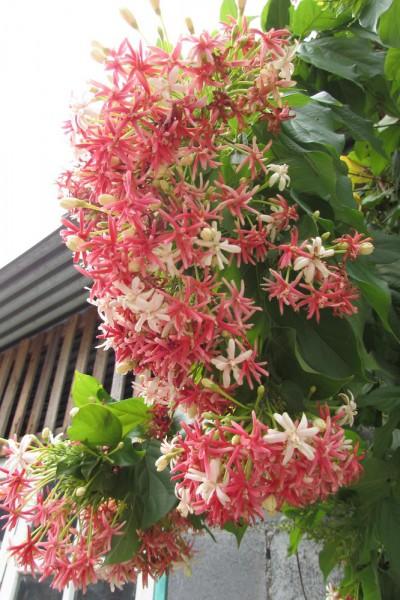 Квисквалис индийский, Quisqualis indica