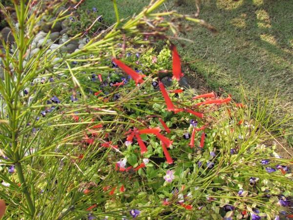 Русселия хвощевидная, Коралловый папоротник (Russelia equisetiformis)