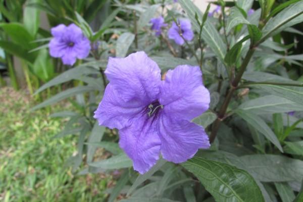 Руэллия тубероза, Ruellia tuberosa цветы таиланда