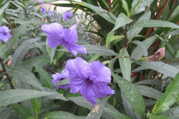 Руэллия тубероза, Ruellia tuberosa