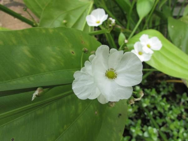Эхинодорус сердцелистный (лат. Echinodorus cordifolius или Echinodorus radicans)