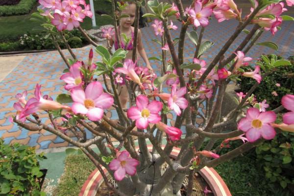Адениум, Adenium цветы таиланда