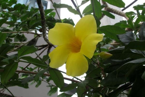 цветы таиланда Алламанда слабительная, Allamanda cathartica
