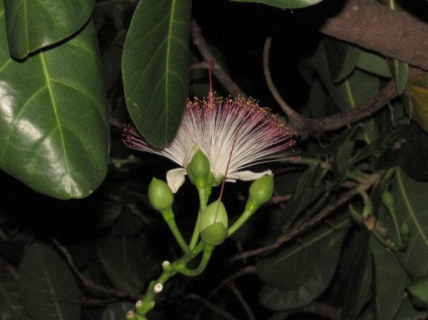 Баррингтония азиатская (Barringtonia asiatica) цветы таиланда