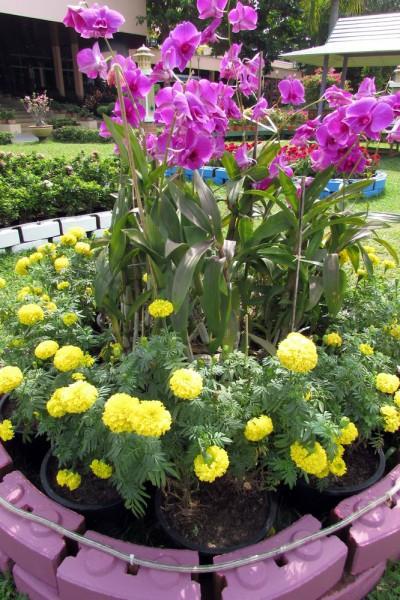 Бархатцы, Tagétes цветы таиланда