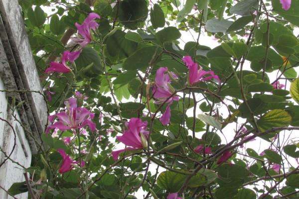 Баухинья пурпурная, Bauhinia purpurea