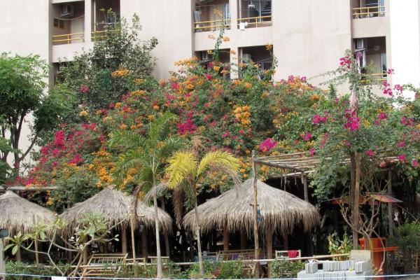 цветы таиланда бугенвиллия